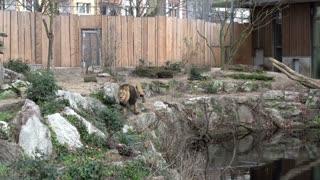 Lion walking around in captivity