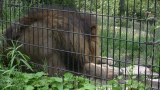 Lions Back Up against Fence