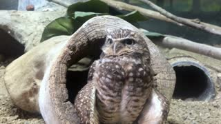 Little owl attentive and looking around