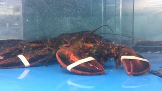 Lobster for sale at grocery store sitting looking at camera 4k
