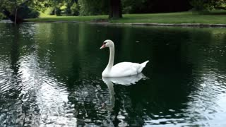 Lonely Swan in Pond with Head underwater