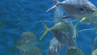 Lookdown fish swimming in water
