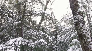 Looking up at snow covered trees