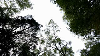 Looking up from forest ground at trees