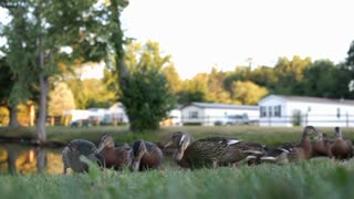 Low view of ducks eating food from grass