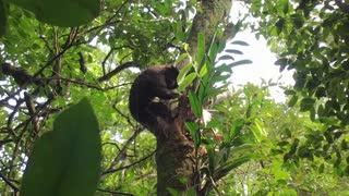 Macaco Prego climbing in tree of jungle searching for food