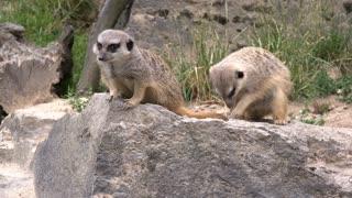 Meerkat group sitting on rock in nature 4k