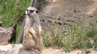 Meerkat looking around while standing on rock 4k