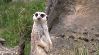 Meerkat standing and looking around 4k