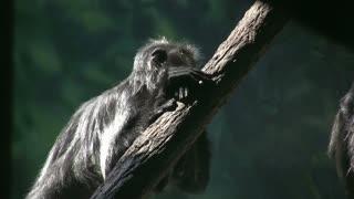 Monkey Laying on Tree Limb