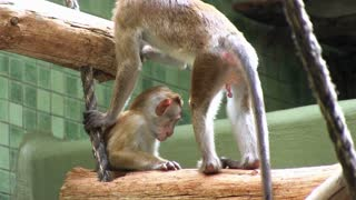 Monkeys playing together