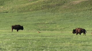 Mother and baby Bison crossing field
