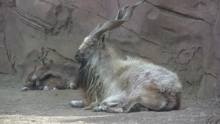Mountain Goat Laying in front of Rock Wall