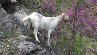 Mountain Goat standing on hill