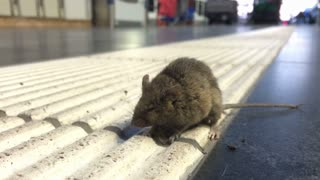 Mouse on ground at train terminal