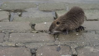 Nutria rodent walking along side water looking for food 4k