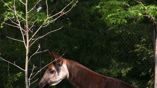 Okapi pulling leaves from Tree with Tongue