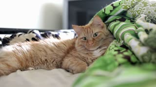 Orange cat laying on Bed