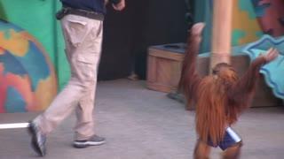 Orangutan Climbing onto  Podium