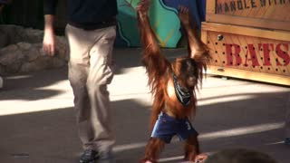 Orangutan on Stage with Trainer