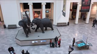 Overlooking the Elephants in lobby of Field Museum 4k