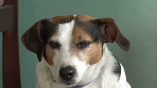 Overweight Jack Russell Terrier looking at camera 4k