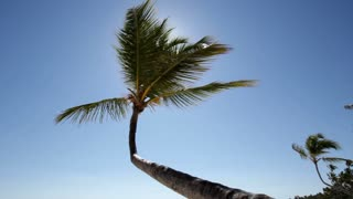 Palm Tree blowing in Wind on Blue Sky