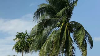 Palm tree blowing in wind on blue sunny sky