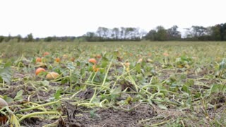 Pan of Pumpkin field to sign