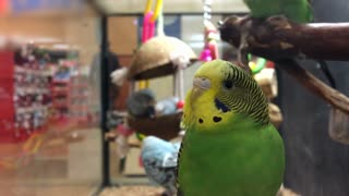 Parakeets in cage at pet store