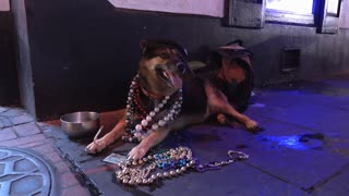 Party dog on Bourbon Street in downtown New Orleans