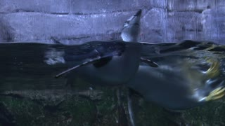 Penguin Swimming Behind Glass