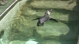 Penguin Swimming in Water