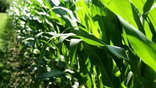 Perimeter of Corn Field Stalks