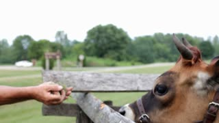 Person holding grass for cow dolly shot