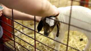 Petting baby goat in pen