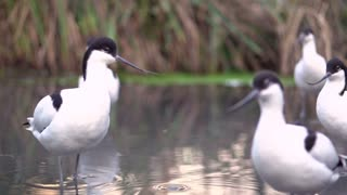 Pied Avocet birds in water