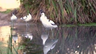 Pied Avocet birds walking through water slow motion