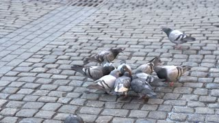 Pigeons eating on brick street slow motion.