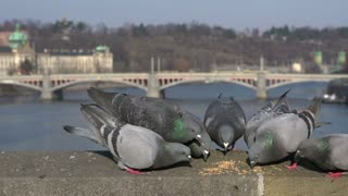 Pigeons fighting over feed in slow motion