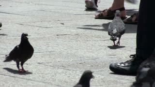 Pigeons on busy walkway