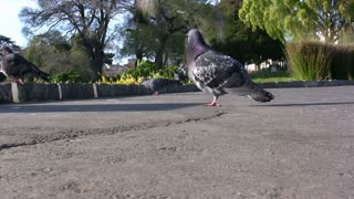 Pigeons Walking around on Pavement