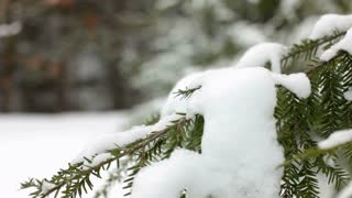 Pine with snow blowing in wind