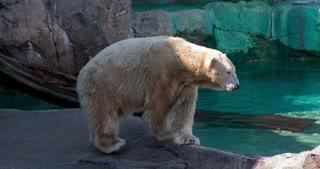 Polar bear at zoo walking by 4k