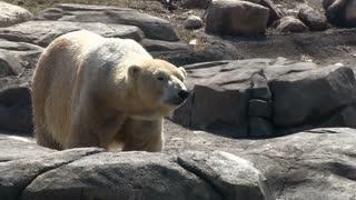 Polar bear on rocks out in wild