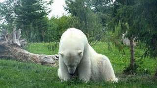 Polar bear sitting in grass looking as if he were overheating 4k