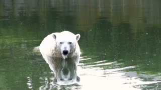 Polar bear sitting in water