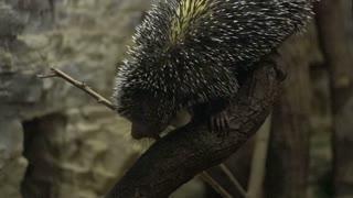 Porcupine climbing up tree