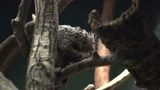 Porcupine eating while sitting on branch