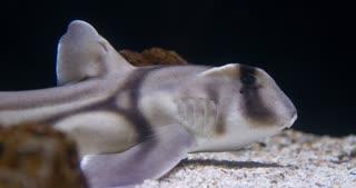 Port Jackson Shark pup in water 4k